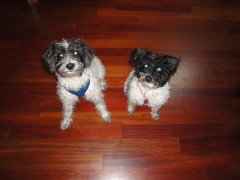 Our clients' dogs Zoe and Mollie